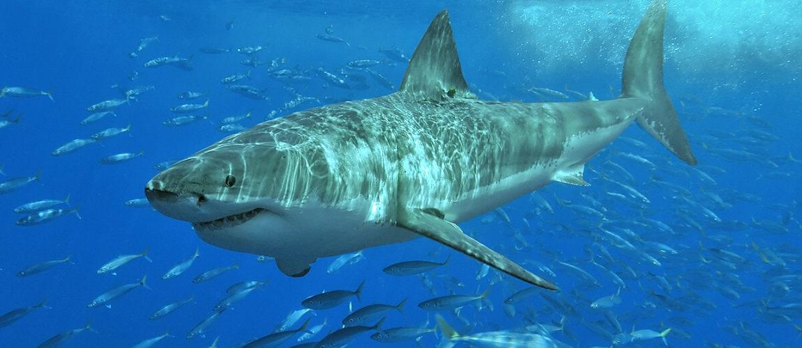 tauchen weisser hai