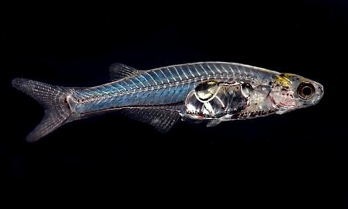 draculafish