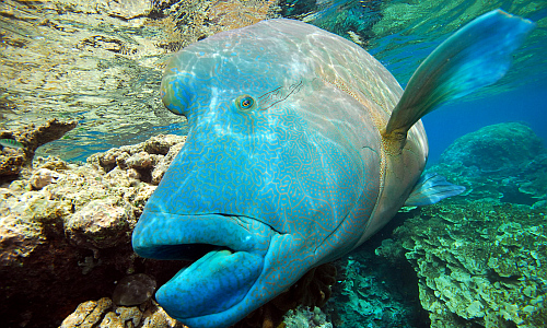napoleonfisch_napoleonfish
