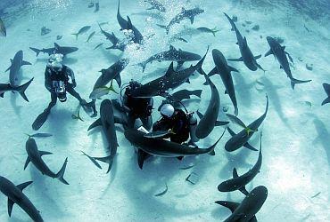 sharkdiving_haitauchen