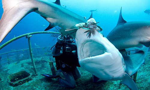 tauchen_mit_haien_shark_diving